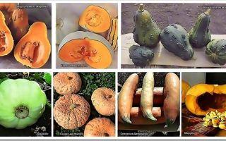 Все о тыкве мускатной семейной: агротехника, описание сортов, выращивание