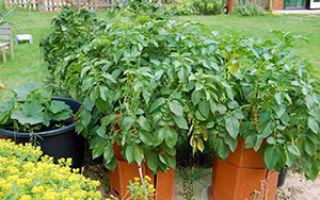 Как посадить и вырастить картофель в бочке, ведре, в бороздах – советы