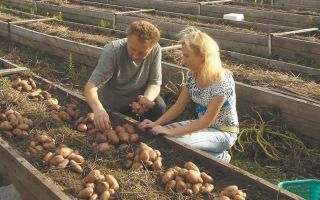 Посадка картофеля по методу картелева, игоря лядова, без перекопки земли