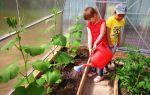 Выращивание огурцов в теплице осенью: подготовительные работы, полив, подкормка, фото, видео – тепличные советы