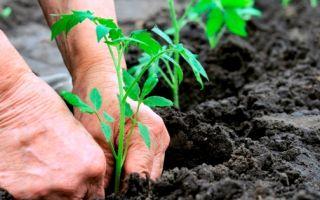 Фаворит: описание сорта томата, характеристики помидоров, выращивание