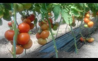 Томат махитос f1 (55 фото): помидоры, описание и отзывы, какое выращивание, видео – тепличные советы
