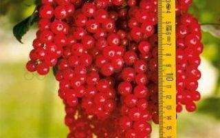 Смородина ровада: описание и характеристики сорта, уход и выращивание