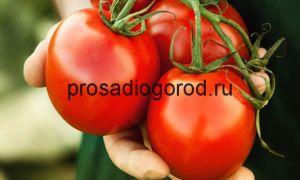 Сорта ранних помидоров для теплиц: ультраранние, суперранние, скороспелые, названия, описание, фото, видео – тепличные советы
