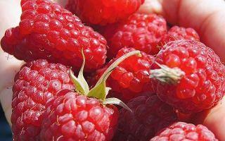 О малине исполин: описание и характеристики сорта, особенности по уходу