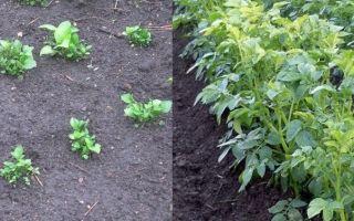 Выращивание картофеля из семян, на рассаду, в домашних условиях – советы