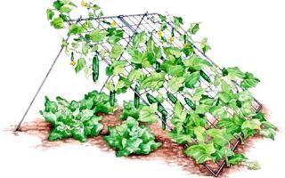 Об огурце кристина: описание сорта, характеристики, технология выращивания