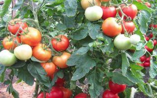 Томат интуиция: отзывы, характеристика и описание сорта, фото помидоров, урожайность, видео – тепличные советы