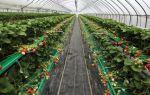 Сорта и виды клубники: для теплиц, нейтрального светового дня, плодоносящих круглый год, семена земляники, фото, видео – тепличные советы
