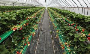 Сорта и виды клубники: для теплиц, нейтрального светового дня, плодоносящих круглый год, семена земляники, фото, видео — тепличные советы