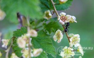 Как вырастить дерево смородины: плодородное, с хорошей урожайностью