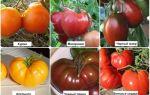 Колхозница: описание сорта томата, характеристики помидоров, посев