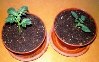 Как сажать картофель глазками, можно ли сажать без ростков – советы