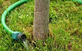О яблоне орлик: описание сорта, характеристики, агротехника, как выращивать