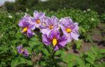 Барин: описание семенного сорта картофеля, характеристики, агротехника