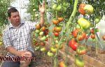 Томат дикая роза (50 фото): описание сорта, отзывы огородников, видео — тепличные советы