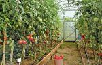 Надо ли окучивать помидоры в теплице и в открытом грунте, как правильно это делать