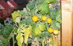 О томате пиноккио: описание и характеристики сорта, уход и выращивание