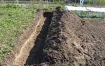 Как правильно посадить жимолость в открытом грунте, правила ухода