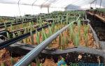 Тюльпаны в теплице к 8 марта: как выращивать, выгонка, технология, фото, видео – тепличные советы