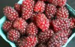 Ежемалина: описание сортов, посадка и выращивание ежевично малинового гибрида