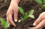 С чем сажать рядом морковь, какие культуры посадить с морковью на грядке