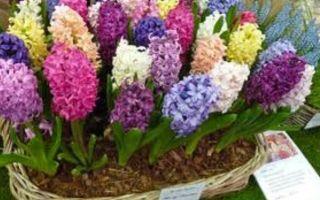 Гиацинт: многолетний или однолетний, особенности цветка, фото, видео – тепличные советы