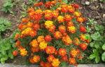 Борщевик: мантегацци, обыкновенный, сибирский, как выглядит ядовитое растение, ожоги от травы, отличия от сныти, борьба – тепличные советы