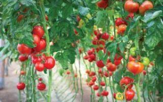 Что посадить рядом с помидорами, можно ли посадить огурцы и капусту рядом с томатами