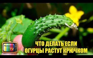 Томат батяня (50 фото): описание сорта, кто сажал помидоры, отзывы, видео — тепличные советы