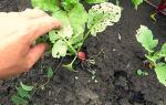 Когда сеять редис в открытый грунт: все о посадки в подмосковье, сибири на урале