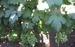 Описание сорта винограда талисман: особенности посадки и сроки созревания