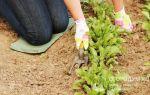 О свекле цилиндра: описание сорта свеклы, как правильно ухаживать и выращивать