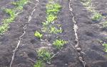 Как резать крупный семенной картофель для посадки: советы и