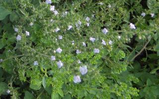 Как выращивать из семян чабер огородный: посадка и уход в открытом грунте
