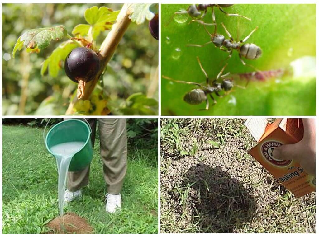 Томат Микадо: характеристика и описание сорта с фото и видео, урожайность помидора, отзывы тех, кто сажал