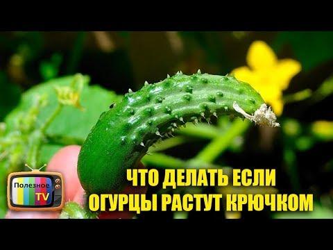 Характеристика и описание сорта томата Батяня его урожайность