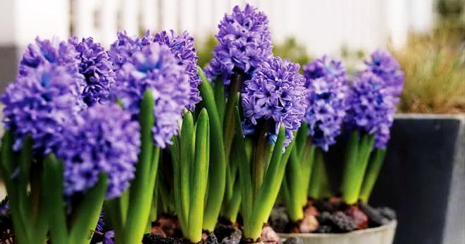 Гиацинт – сложно ли выращивать такую красоту? Виды и сорта