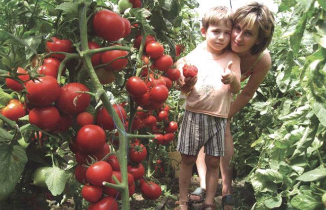 Самые урожайные сорта томатов для теплиц и вкусные