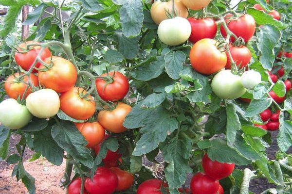 Томат Интуиция описание и характеристика сорта уход и сбор урожая помидор