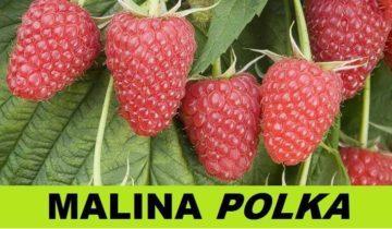 О малине Полька ремонтантной: описание сорта, особенности по уходу
