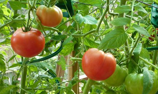 Что делать если помидоры в теплице подгорели, как спасти рассаду, почему горят томаты