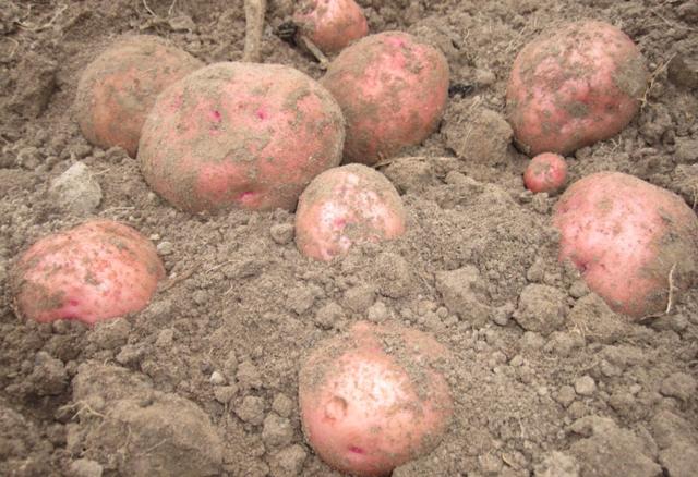 Малиновка: описание сорта картофеля, характеристики, агротехника