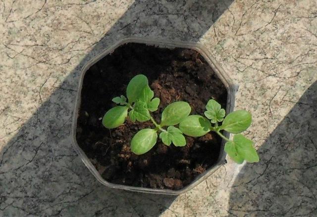 Что сделать с рассадой арбуза, если она вытянулась: причины, как сажать