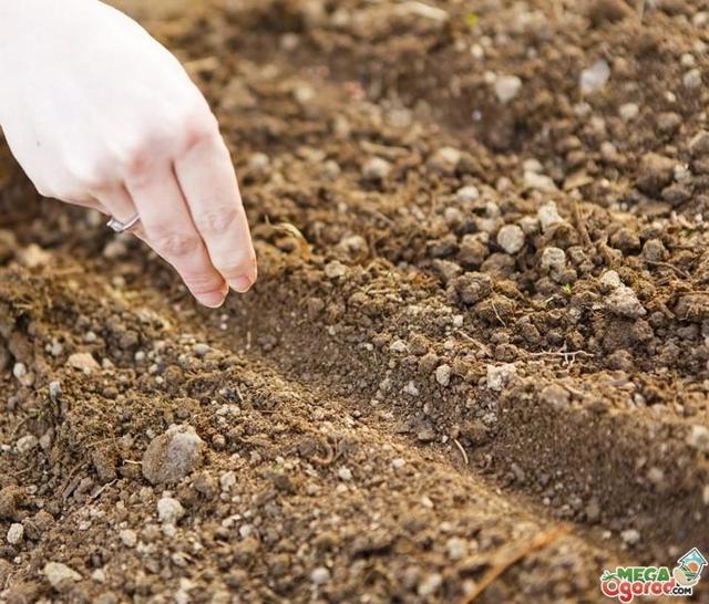 Как сажать петрушку: методы весенней высадки в открытом грунте