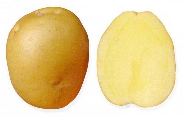 Брянский деликатес: описание сорта картофеля, характеристика