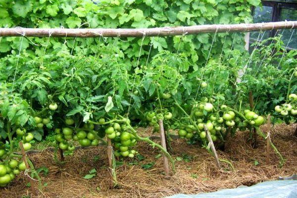 Генерал: описание сорта томата, характеристики, агротехника помидоров