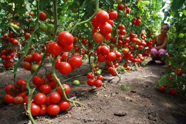 Китайский метод выращивания рассады томатов: выращивание, технология, способ посадки