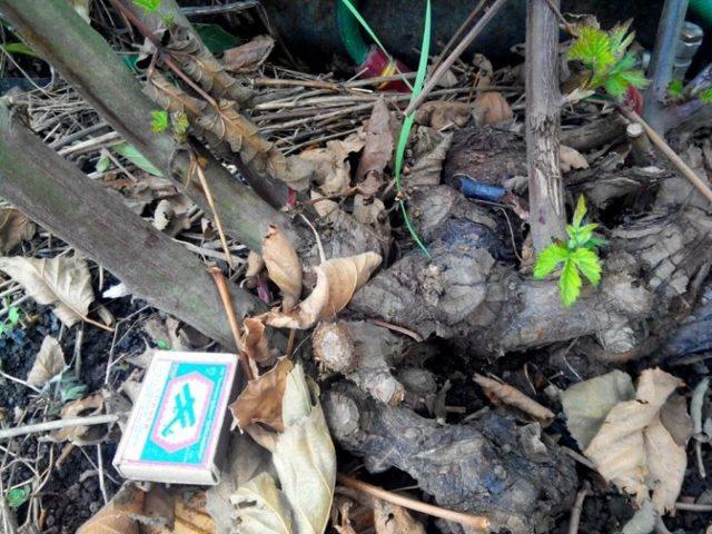 Как размножить и вырастить ежевику при посадке черенками весной