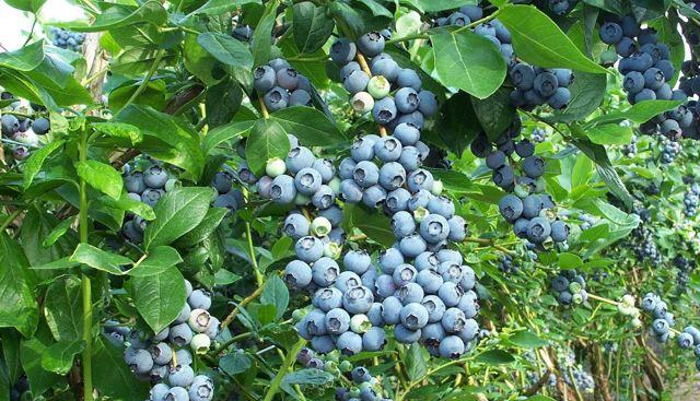 О голубике Патриот: описание и характеристики сорта садовой голубики, уход и выращивание